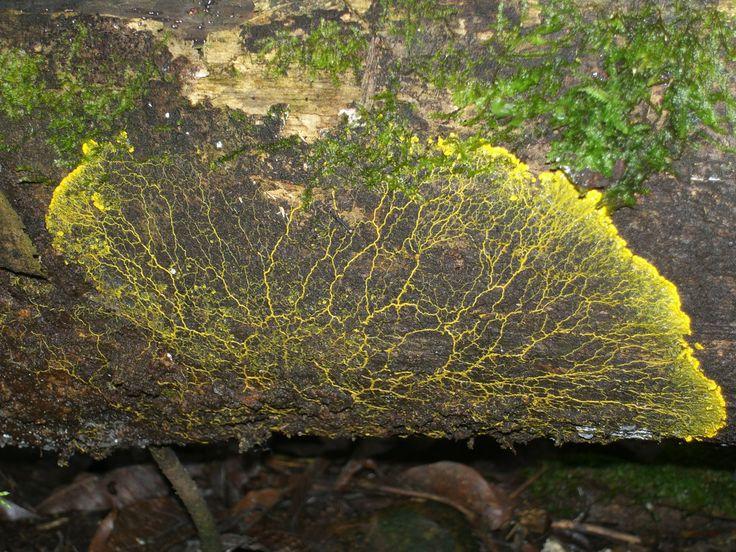 Faneroplasmodio de un mixomiceto en un tronco en descomposición, en los Farallones de Cali, 1550 m.