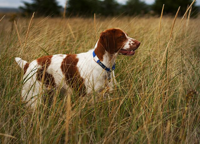 brittany spaniel | The Brittany Spaniel In Situ | Flickr - Photo Sharing!