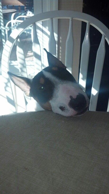Bull Terrier Willie