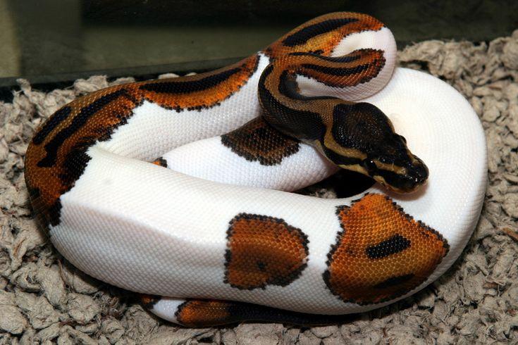 Piebald ball python. Weird mutation, exquisite result.