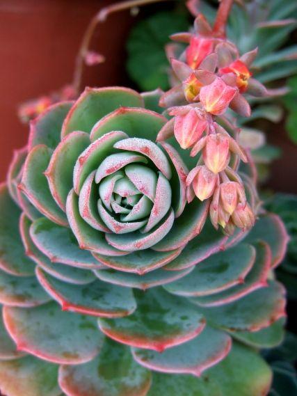 Echeveria - celle ci je l'ai dans mon jardin - la plupart des personnes qui ne connaissent pas les plantes cactées y succombe par la découverte de ces fleurs orangé-roses qui contrastent avec les feuilles gris-vert !!