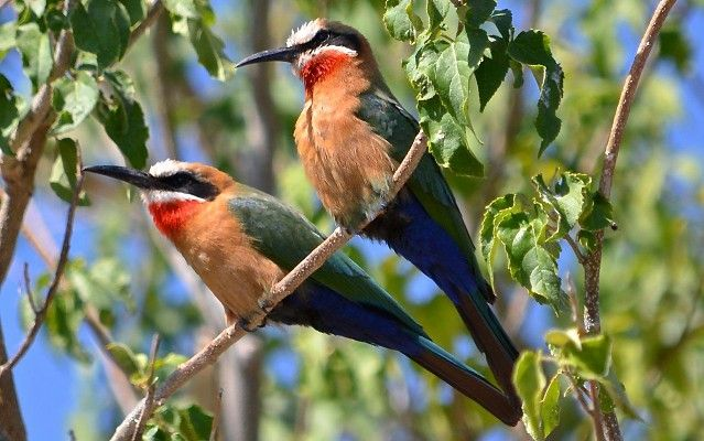 White-fronted bee-eaters on the Chobe River cruise #MigrationsRoute #Botswana #safari http://www.wilderness-safaris.com/explorations