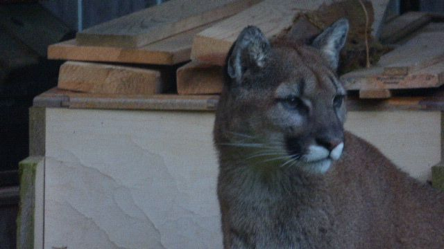 Cougar In Ocean Shores, WA area. I took this picture from my kitchen window on 4/10/17. I love his white bow tie upper lip