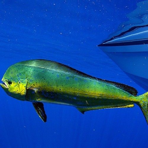 hookandtackle: The colors of this #mahimahi really stands out...  hookandtackle:  The colors of this #mahimahi really stands out with the #bluewater another great day today out on the water #fishing #fisherman #spirtfishing #hookandtackle #dolphin #fishingboat (at Miami Beach Florida)  Fishing Exposed