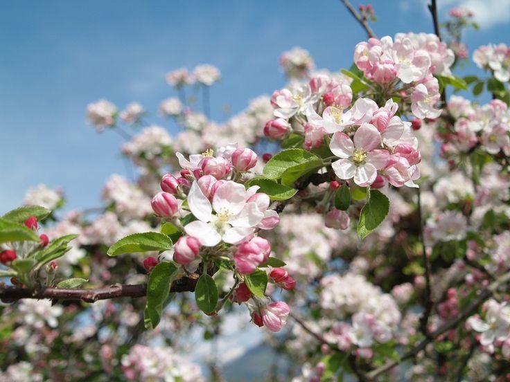 Apple Blossom, Vintschgau, Южный Тироль, Цвести Яблони