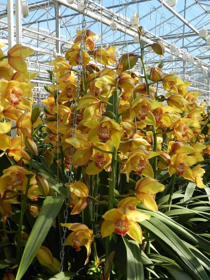 77 best Cymbidium Orchids images on Pinterest | Cymbidium ...