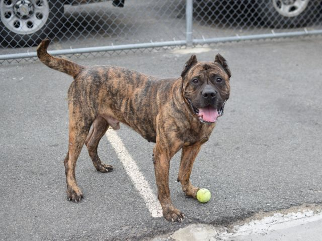 Brooklyn Center SUNNY – A1072498 MALE, BR BRINDLE, CANE CORSO MIX, 5 yrs OWNER SUR – EVALUATE, NO HOLD Reason MOVE2PRIVA Intake condition UNSPECIFIE Intake Date 05/04/2016, From NY 11213, DueOut Date 05/04/2016