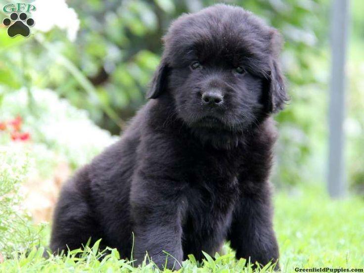 Newfoundland Puppies for Sale - PuppyFind.com