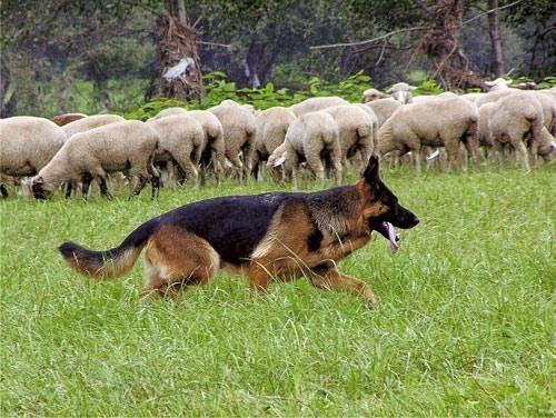 Pin by Felicity Dunkle on Dogs German shepherd dogs