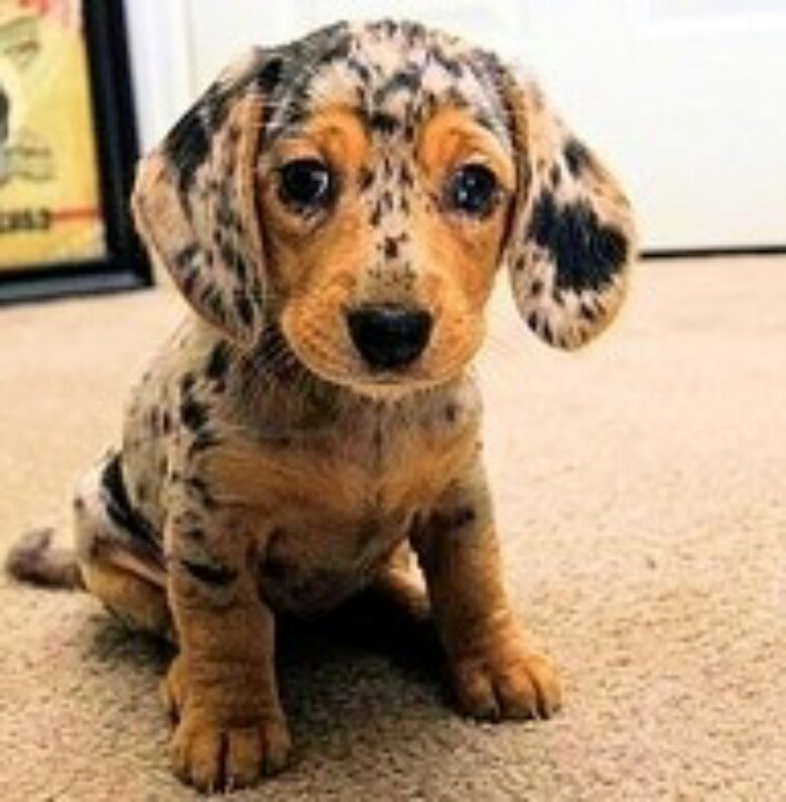 43 Best Images About Puppies On Pinterest Lab Puppies