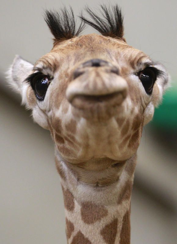 """A newborn baby giraffe looks up at the Planckendael zoo in Mechelen, 25 kilometers North of Brussels, Tuesday, Feb. 18, 2014. The calf was born on Valentines day, Feb. 14, and has a heart shaped spot on its hip."""