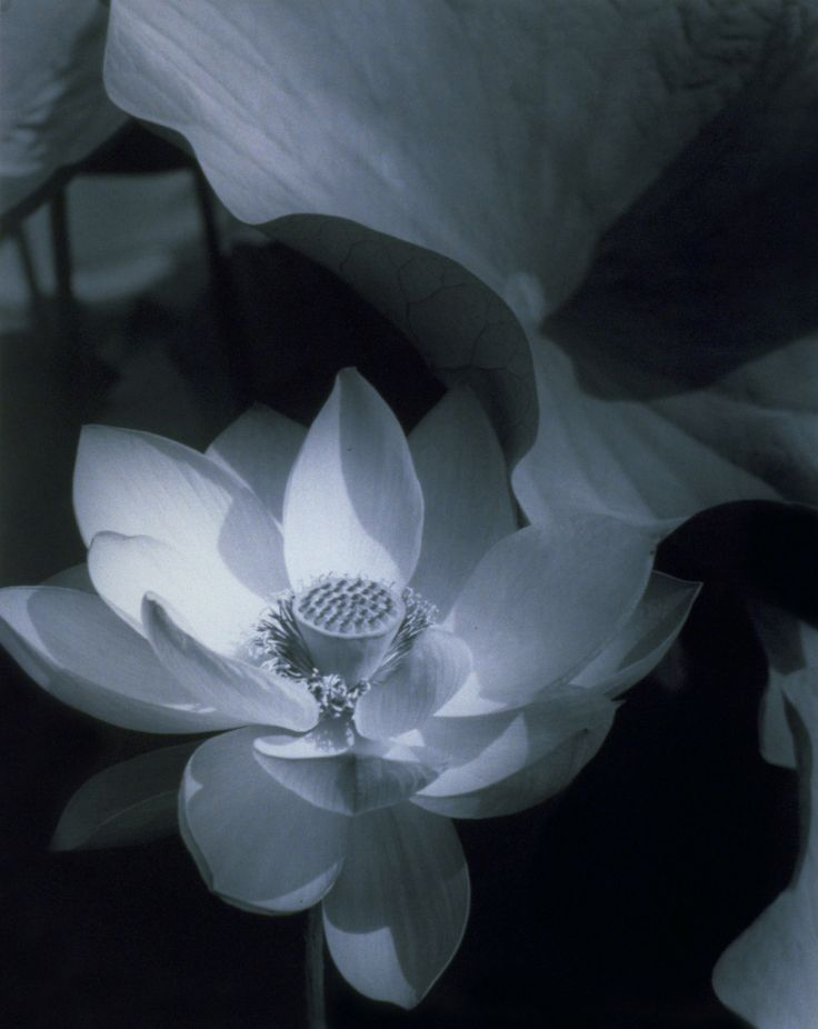 Edward Steichen (1879-1973), Lotus, Mount Kisco, New York 1915; printed 1982 Silver gelatin print 13 ¼ x 10 ½ inches (image and paper) From Art Blart.