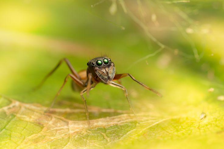 Salticidae - Myrmarachne (female) Ant mimicry