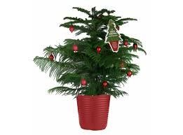 Fantastic Living Christmas Tree for life - Norfolk Island Pine - Araucaria hetrophylla, Indoor Evergreen trees, small pine trees, long lasting real xmas tree, xmas, delivered, pot grown perennial, festive present, seasonal gift, needle-less, medium 95cm (3 feet) Order now supply in December . Best4garden http://www.amazon.co.uk/dp/B00PQUNKJW/ref=cm_sw_r_pi_dp_4cBEub1174S7K