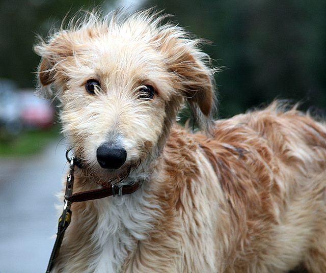 Oh my! Mo – 12 month old male Lurcher dog for adoption at Greyhound Gap
