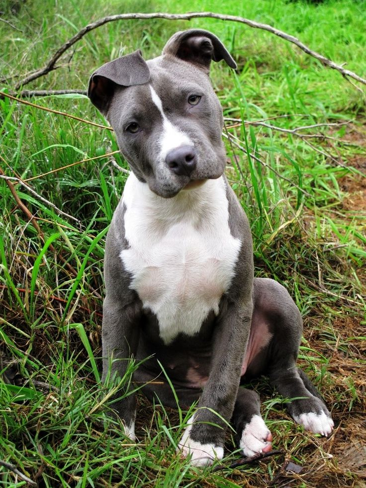 Pitbull Blue Pet insurance for dogs, Healthy pets, Pet