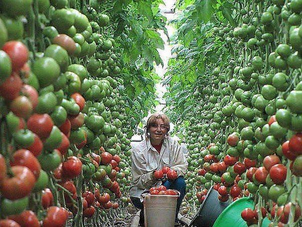 Семь правил большого урожая помидор.   Дачники