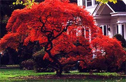 Acer palmatum Fireglow \- Polymorphum Japanese Maple Tree (Acer Japonicum may be better for zone 5)