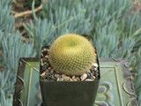 Notocactus graessneri cactus plant
