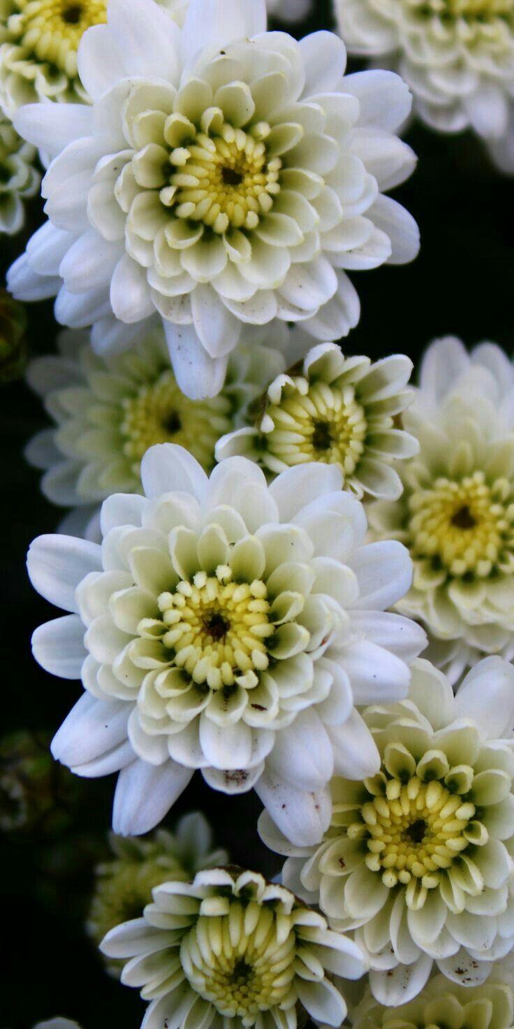 Pin By Mona Moni On Krizantema Lule Shen Mitri Chrysanthemum Flower Crysanthemum Flower Beautiful Flowers