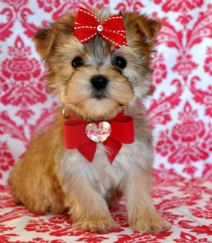 Teacup Morkie Puppies for sale