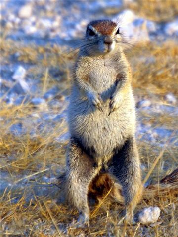Ground squirrel. Etosha, Namibia