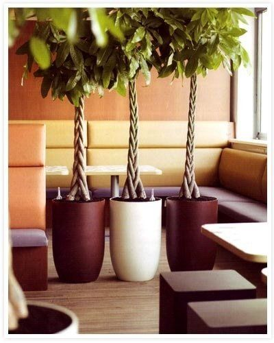 Dana got me a small one for my birthday! It's very cool. Not sure I'll get it to look this awesome at the trunk, though!  Indoor Tree! The Easiest Ever: Pachira Aquatica
