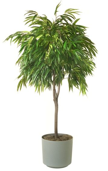4 Indoor Plants That Can Improve Air Quality at Home. 2.Ficus Alii. This plant grows easily indoors and resists insects - good qualities in a houseplant! It prefers medium to low light and a humid environment. If you can't get outdoors, bring the outside in!