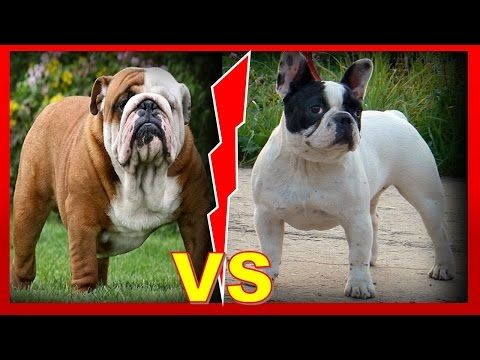 Bulldog Inglés vs Bulldog Francés, Definiciones y Cuidados - YouTube
