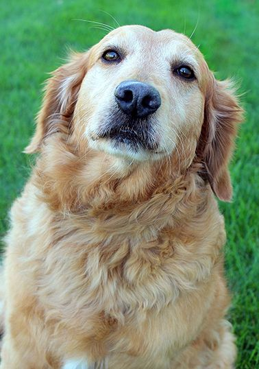 This is Hank - 10 yrs. He is neutered, current on vaccinations, potty trained. He came to rescue with his Golden brother Mickey and they are very bonded and would like to be adopted together. Golden Retriever Rescue Resource, OH. - http://www.gr-rescue.org/golden_retrievers_for_adoption_9.html#.VcUF7vlVhBc