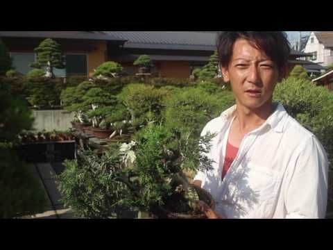 Taishoen Bonsai nursery, Japan - YouTube