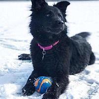 1/1/2018 Potomac, Maryland - Sheltie, Shetland Sheepdog. Meet Fluffy, a for adoption. https://www.adoptapet.com/pet/20406134-potomac-maryland-sheltie-shetland-sheepdog-mix