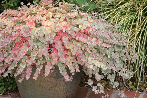 Sedum Sieboldi - October Daphne Sedum   Great Plant Picks : turns pink in the winter