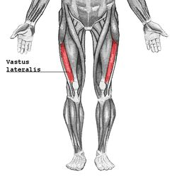 Vastus lateralis Origin Greater trochanter, Intertrochanteric line, and Linea aspera of the Femur Insertion Patella via the Quadriceps tendon and Tibial tuberosity via the Patellar ligament Artery lateral circumflex femoral artery Nerve femoral nerve Actions Extends and stabilizes knee Antagonist Hamstring