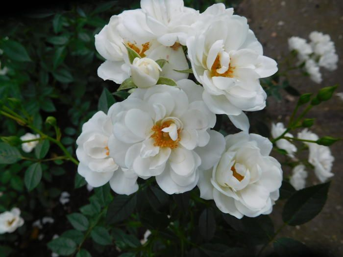 "Foto uit de tuin van Willy Nijhoff Rosa ""The White Cover"""