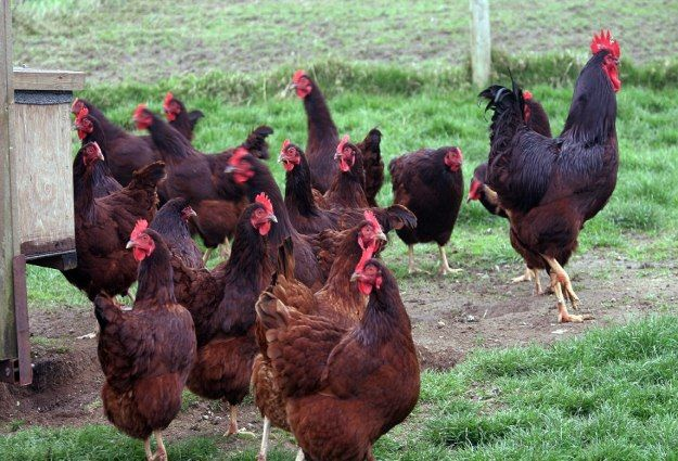 Rhode Island | The Best Egg Laying Chickens For Your