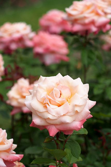 Rose, Pure Bliss, バラ, ピュア ブリス, | Rose, Pure Bliss, バラ, ピュア ブ… | Flickr