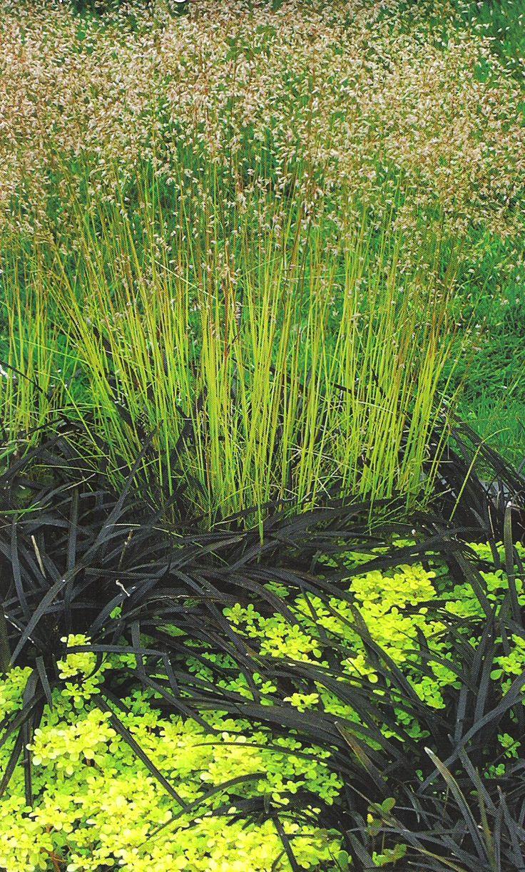 'Ogon' sedum, Black mondo grass, 'Tatra Gold' crinkled hairgrass