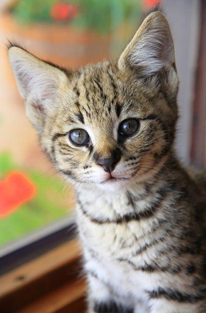 F1 Savannah kitten FOCUS by broadsurf, via Flickr