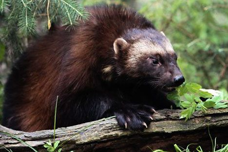 Wolverine.   The twelve most dangerous Russian animals | Russia Beyond The Headlines