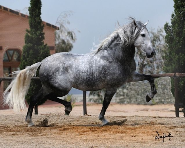Andalusian Horse | I WANT IT | Pinterest