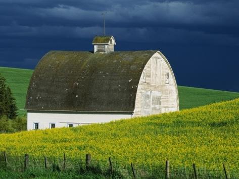 Farm:  White #Barn and Canola Field.