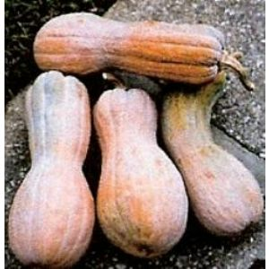 Rugosa butternut, the best for Thai squash soup. Very sweet & fine grained. The best seeds selected for short seasons.
