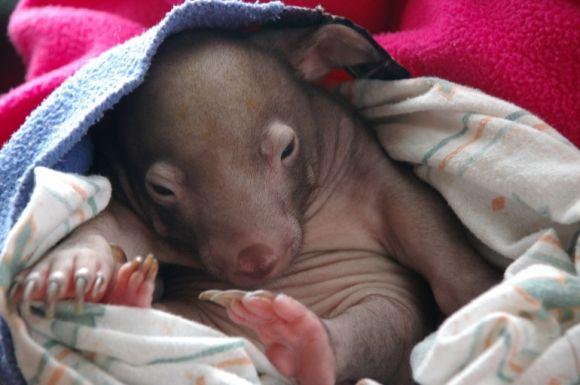 cute baby wombat in a blanket