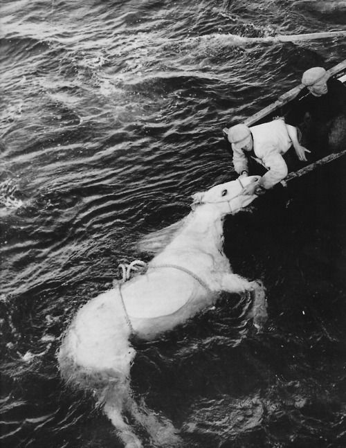 Rescue of a horse in water