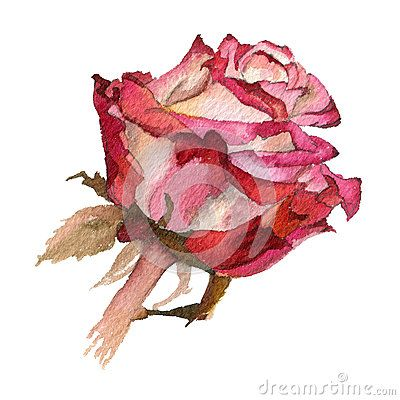 Red  roses   on a white background.   Watercolor illustration.