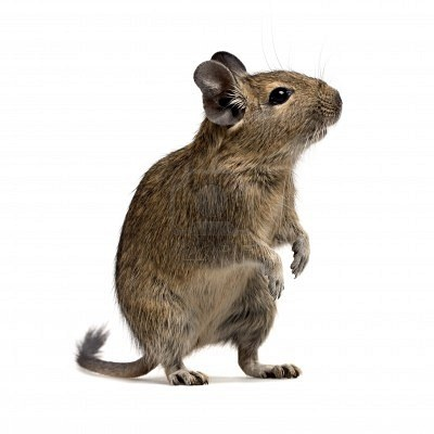 Degu. maybe instead of another rat? They are pretty cute...