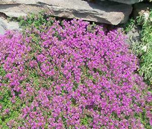 C'est une de mes couvertures préférées! Il pousse très vite, une couverture de feuillage doux et fleurs mauves. Non seulement il est amusant et beau, il est comestible! * Tolérant à la sécheresse * Ombre partielle plein soleil * Jardin de rocaille, plante de bordure, bordure autour de passerelles * Non-OGM, aucune toxine utilisé * À la main cultivée Zones de 4-9, vivace Livré dans un pot biodégradable de 3 pouces.