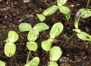 Sunflower Seedlings - Eran Finkle