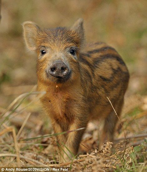 A wild boar piglet, in the Forest of Dean, Glos